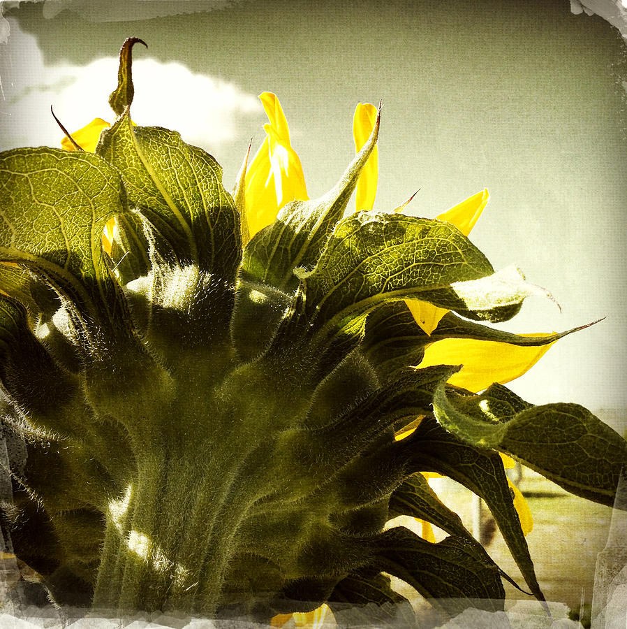 Sky Photograph - Sunflower by Les Cunliffe