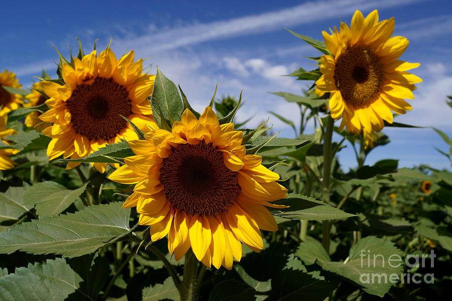 Agriculture Photograph - 3 Sunflowers by Kerri Mortenson