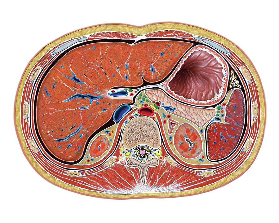 Abdomen Photograph - The Abdomen by Asklepios Medical Atlas