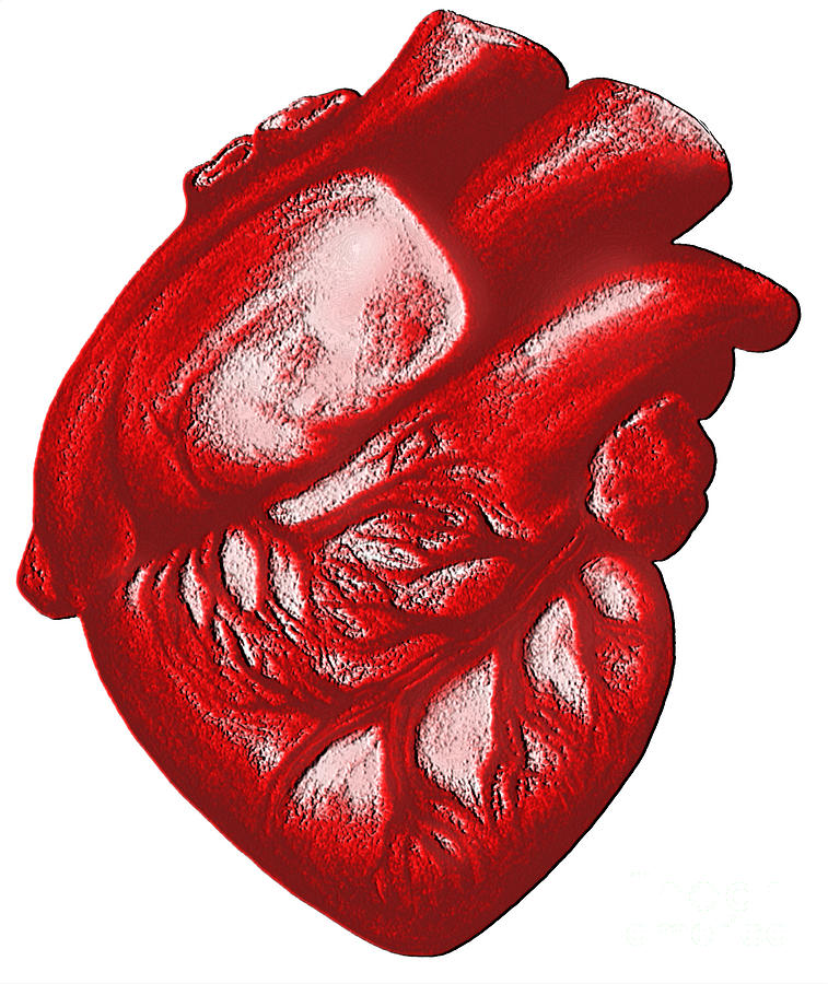 Human Heart Photograph - The Human Heart by Dennis Potokar