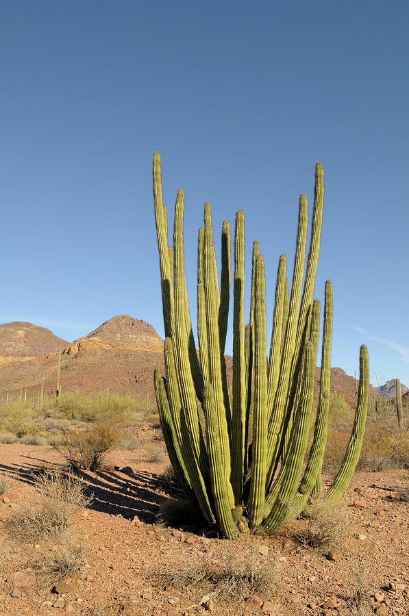Arizona Photograph - Usa, Arizona, Organ Pipe Cactus by Kevin Oke