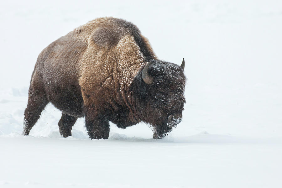 Animal Photograph - Usa, Wyoming, Yellowstone National Park by Jaynes Gallery