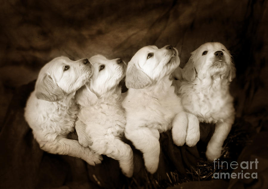 Dog Photograph - Vintage Festive Puppies by Angel  Tarantella