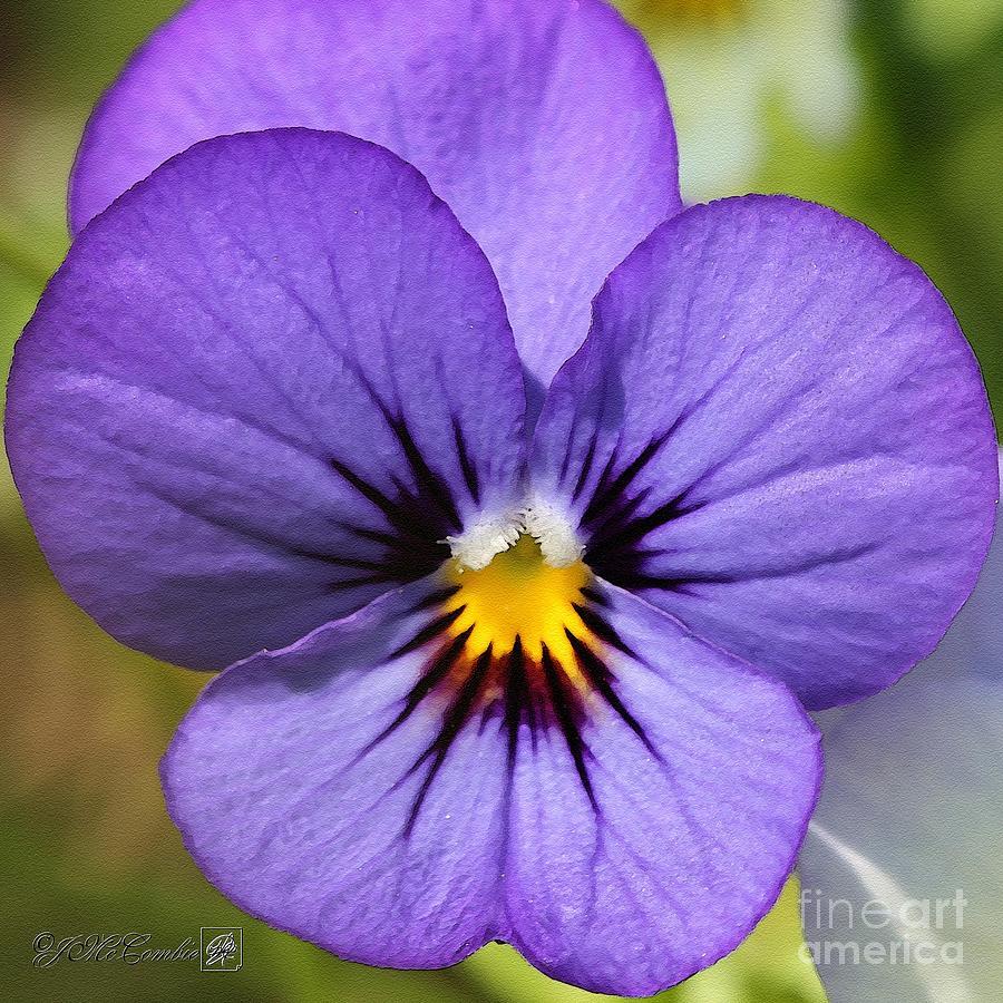Viola Painting - Viola Named Sorbet Blue Heaven Jump-up by J McCombie