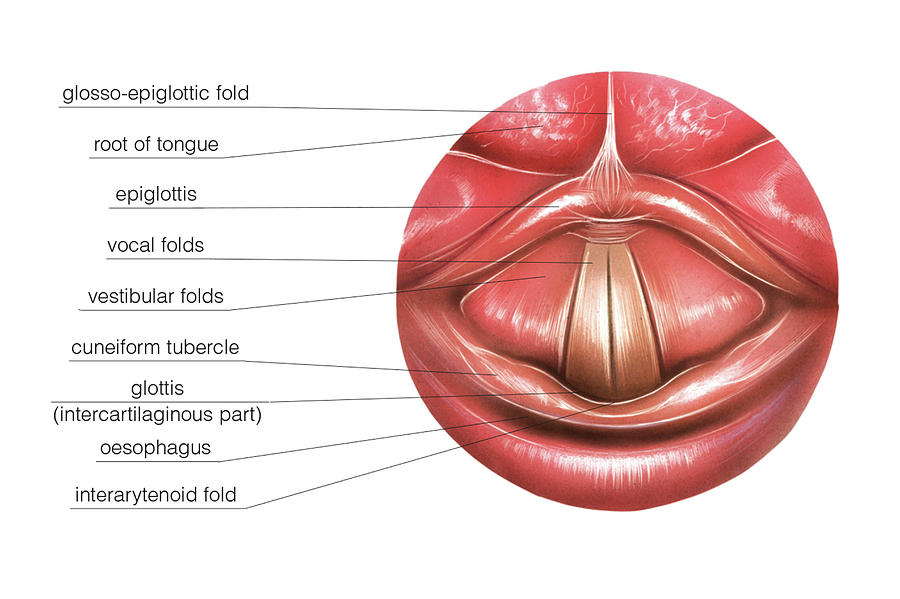 Vocal Folds Photograph by Asklepios Medical Atlas