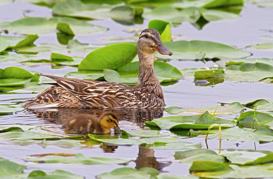 Anas Platyrhynchos Photograph - Wa, Juanita Bay Wetland, Mallard Female by Jamie and Judy Wild