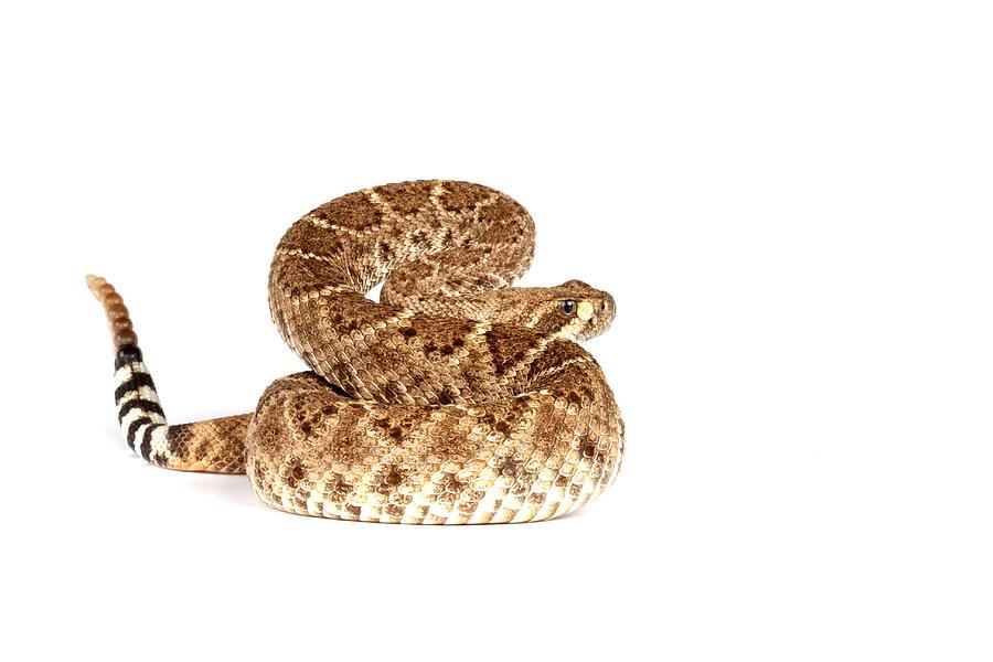 Snake Photograph - Western Diamondback Rattlesnake by John Bell