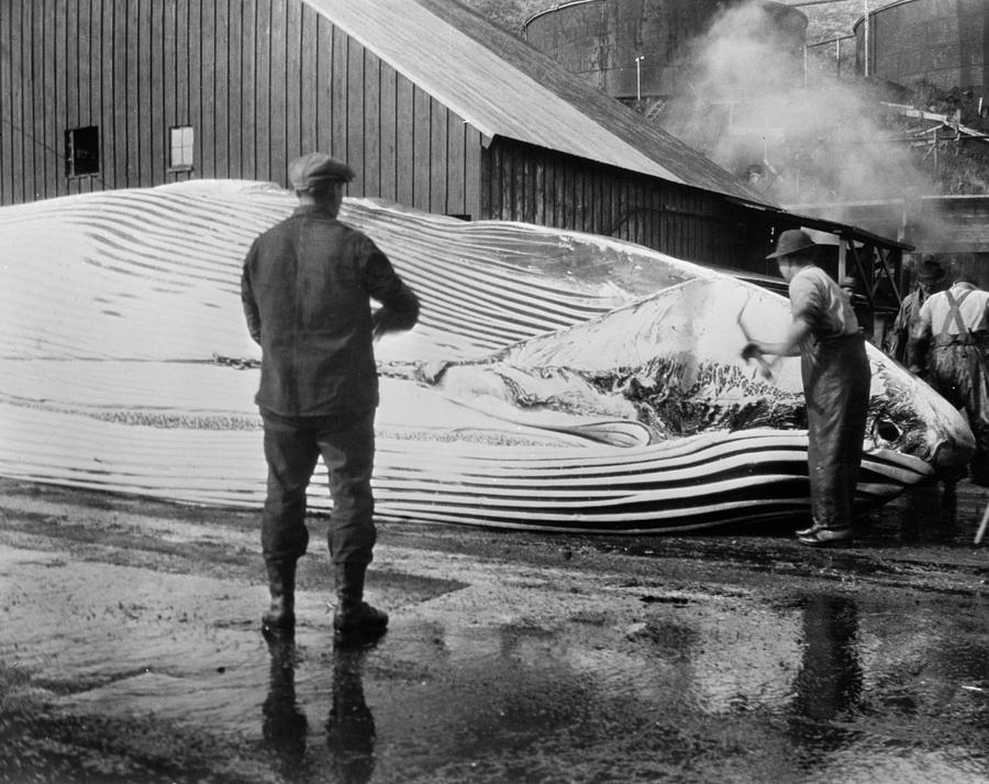 1935 Photograph - Whaling, C1935 by Granger