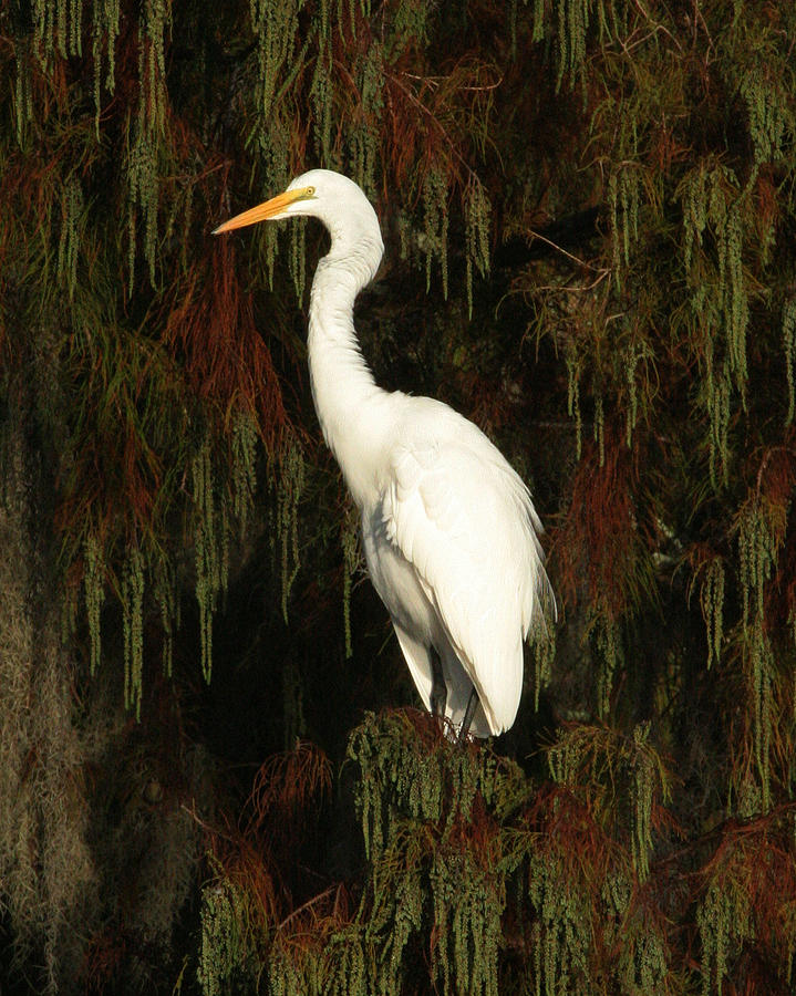 White Egret Photograph - White Egret by Jeff Wright