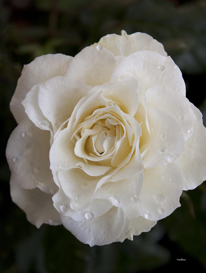 White Rose Photograph - White Rose by Ivete Basso Photography