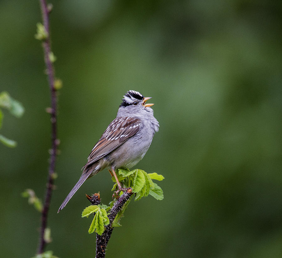 Doug Lloyd Photograph - Whitecrowned Sparrow by Doug Lloyd