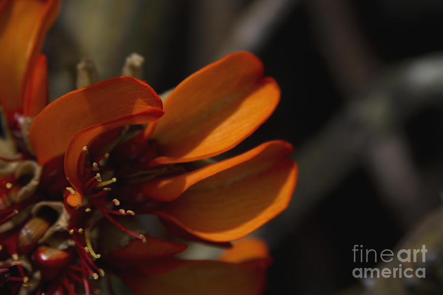 Aloha Photograph - Wiliwili Flowers - Erythrina Sandwicensis - Kahikinui Maui Hawaii by Sharon Mau