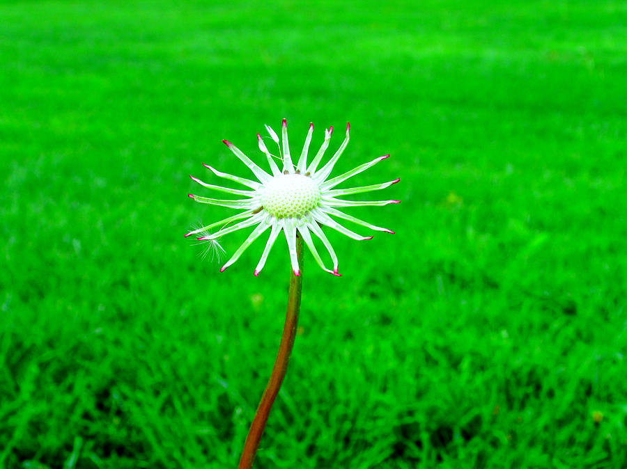 Dandelion Photograph - 3 Wishes Left by Andrea Dale