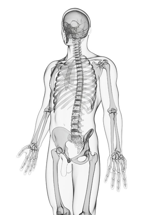 diagram of male skeleton male skeleton photograph by pixologicstudio science photo library  male skeleton photograph by