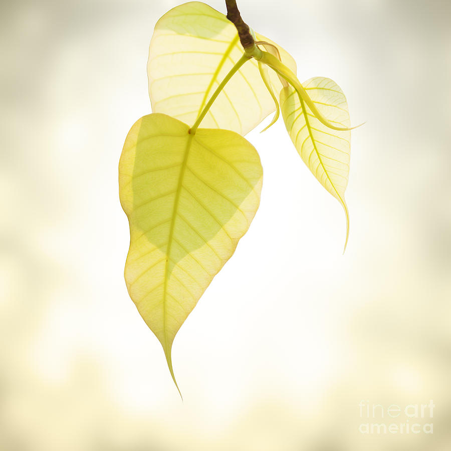 Abstract Photograph - Pho Or Bodhi by Atiketta Sangasaeng