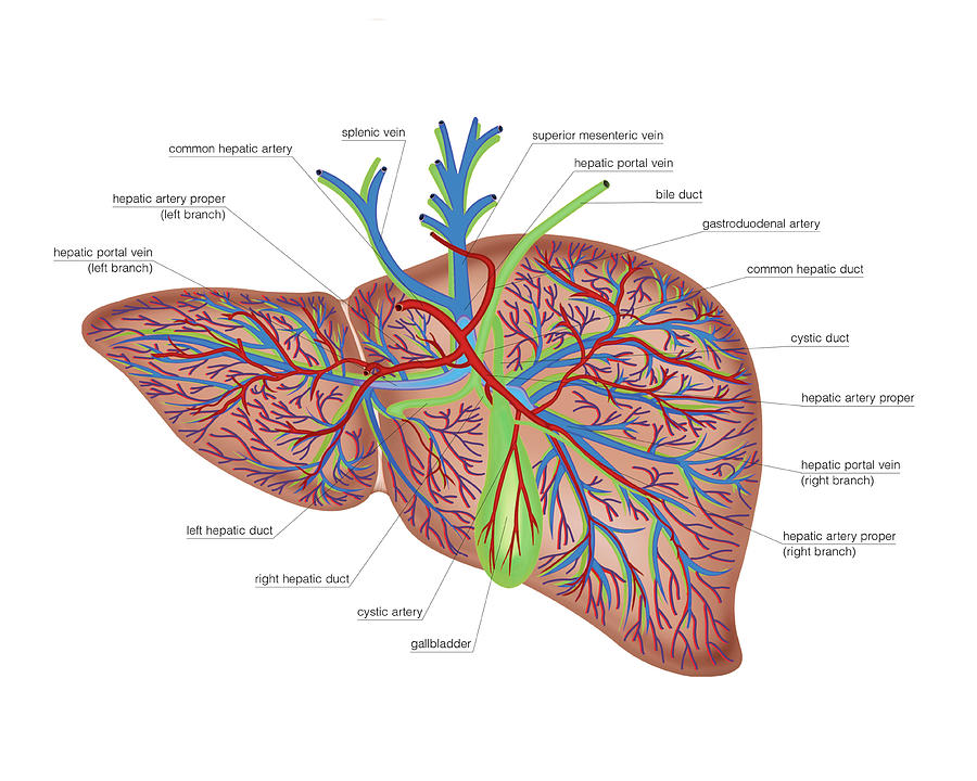The Liver Photograph By Asklepios Medical Atlas