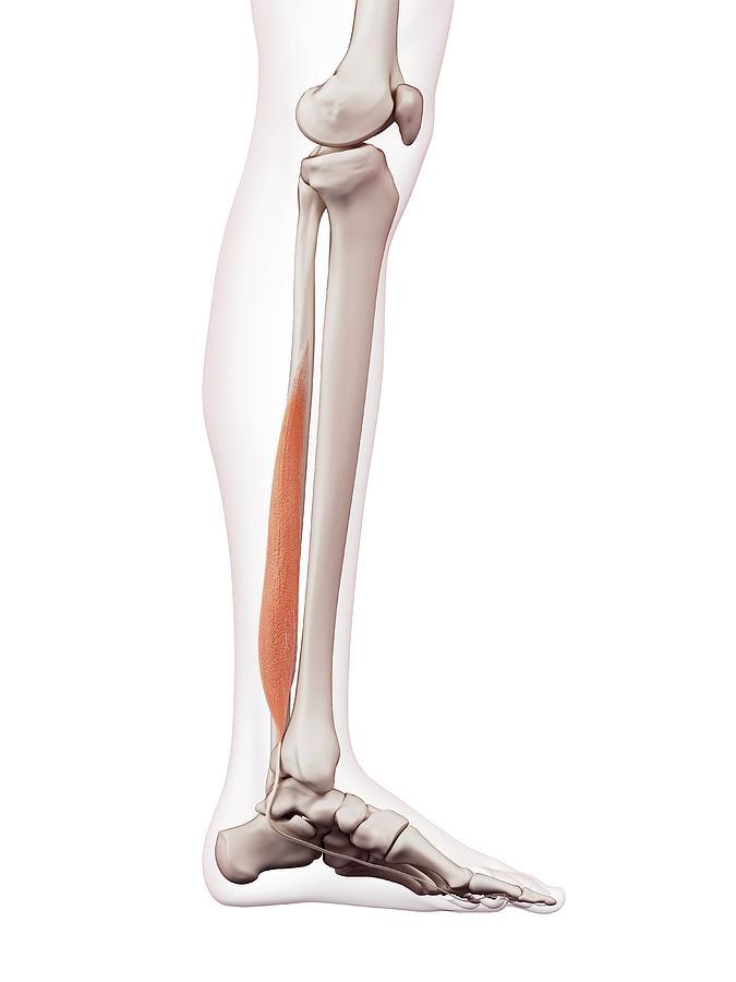 Artwork Photograph - Human Leg Muscles by Sebastian Kaulitzki/science Photo Library