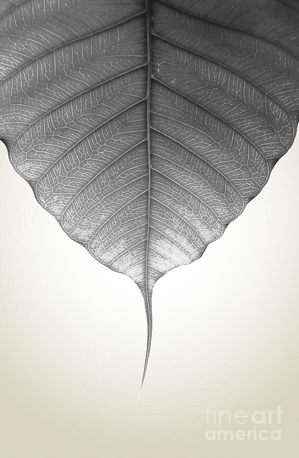 Admiration Photograph - Pho Or Bodhi by Atiketta Sangasaeng