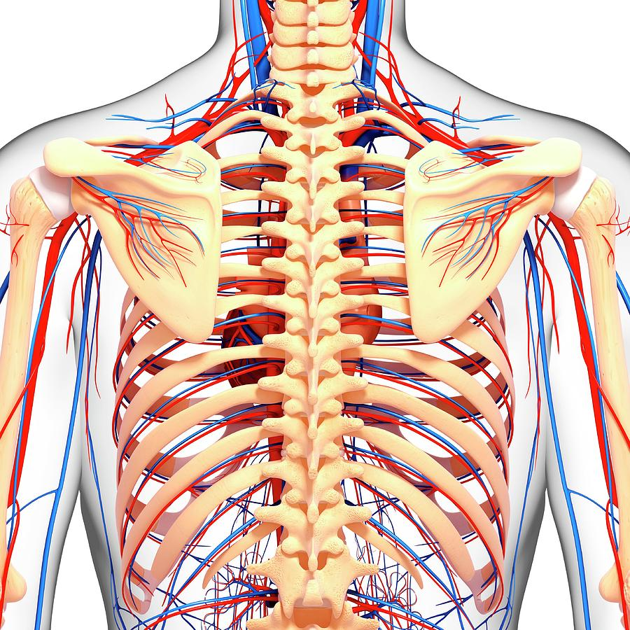 Upper Body Anatomy Photograph By Pixologicstudioscience Photo