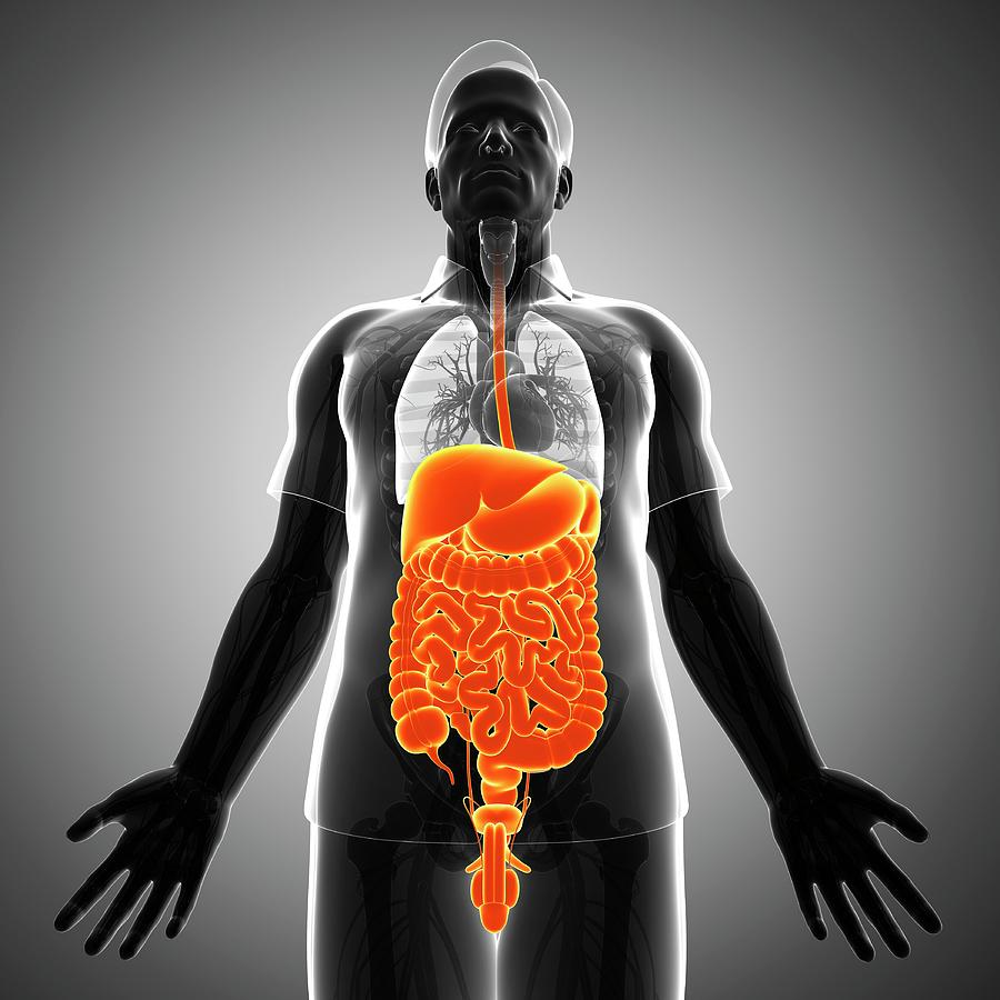 Artwork Photograph - Male Digestive System by Pixologicstudio/science Photo Library