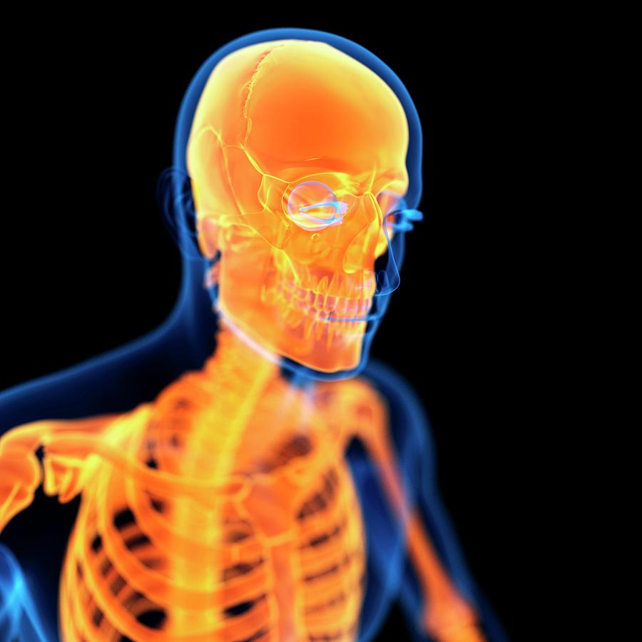 Artwork Photograph - Human Skull by Sebastian Kaulitzki