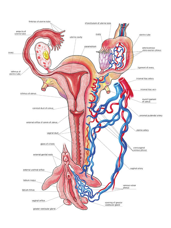 Anatomy Photograph - Female Genital System by Asklepios Medical Atlas