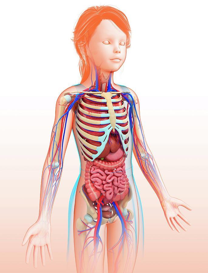 Artwork Photograph - Human Internal Organs by Pixologicstudio/science Photo Library