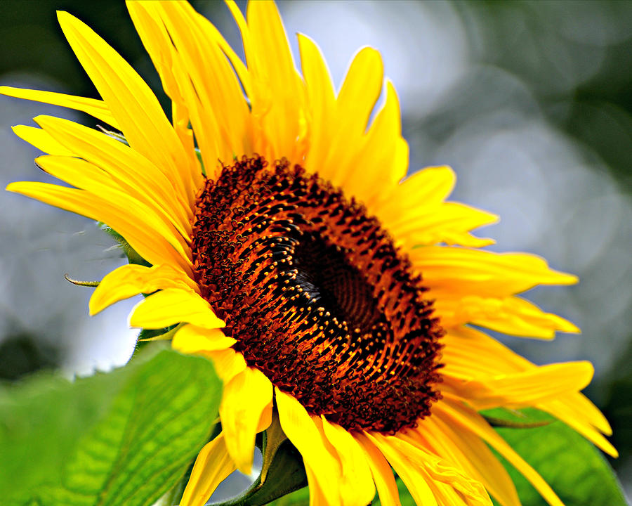 Sunflower Photograph - 3528 by Marty Koch