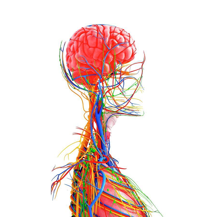 Artwork Photograph - Human Anatomy by Pixologicstudio/science Photo Library