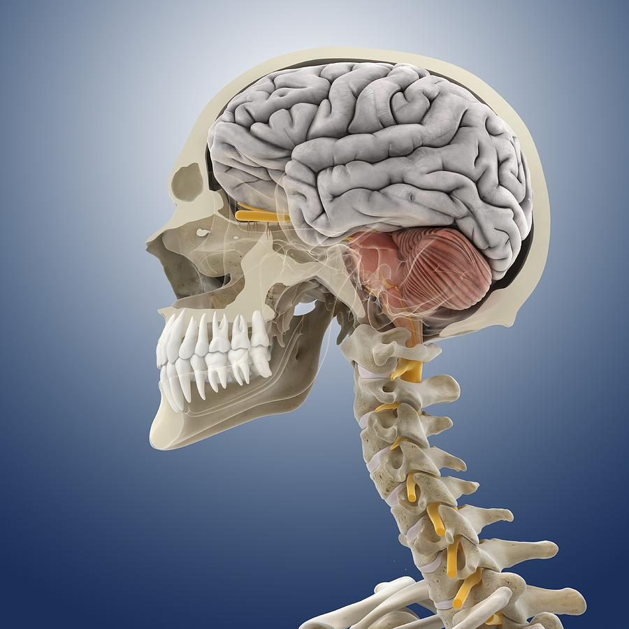 Head And Neck Anatomy, Artwork Photograph by Science Photo Library