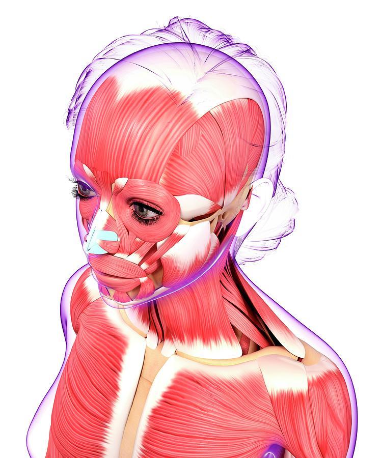 Human Muscular System Photograph By Pixologicstudio