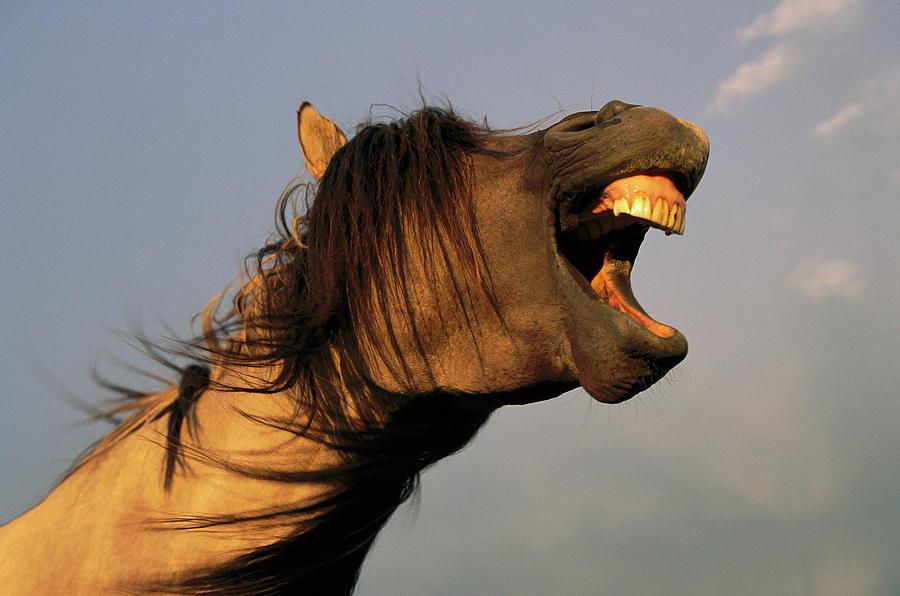 Mustang Stallion Yawning Photograph by Yva Momatiuk and John Eastcott