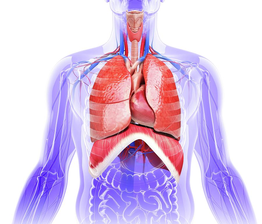 Artwork Photograph - Human Respiratory System by Pixologicstudio