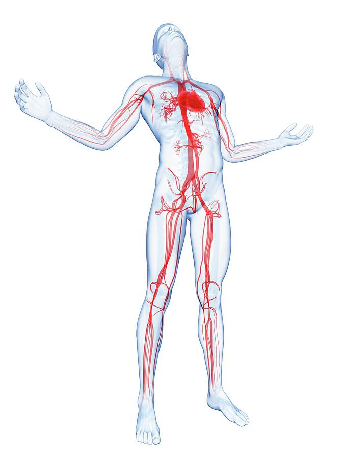 Human Vascular System Photograph by Sebastian Kaulitzki