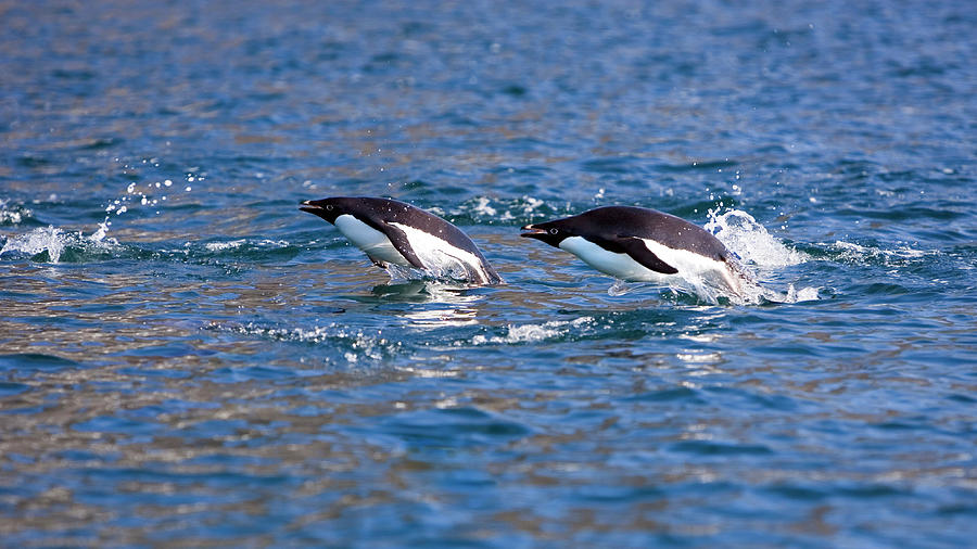 Pygoscelis Adeliae Photograph - Adelie Penguins 4 by William Ervin/science Photo Library