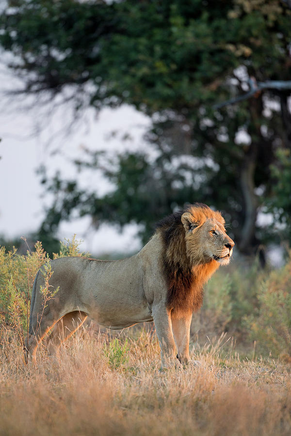 Adult Photograph - Africa, Botswana, Moremi Game Reserve by Paul Souders