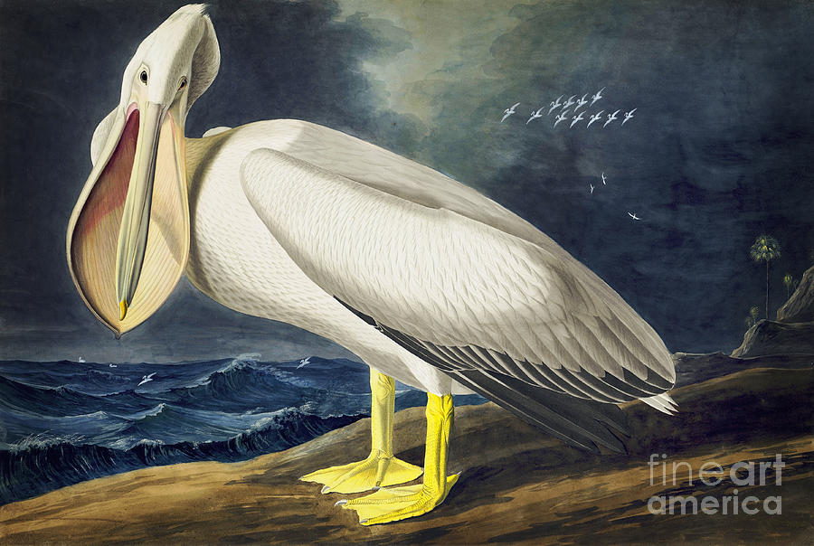 Audubon Watercolors Drawing - American White Pelican by Celestial Images
