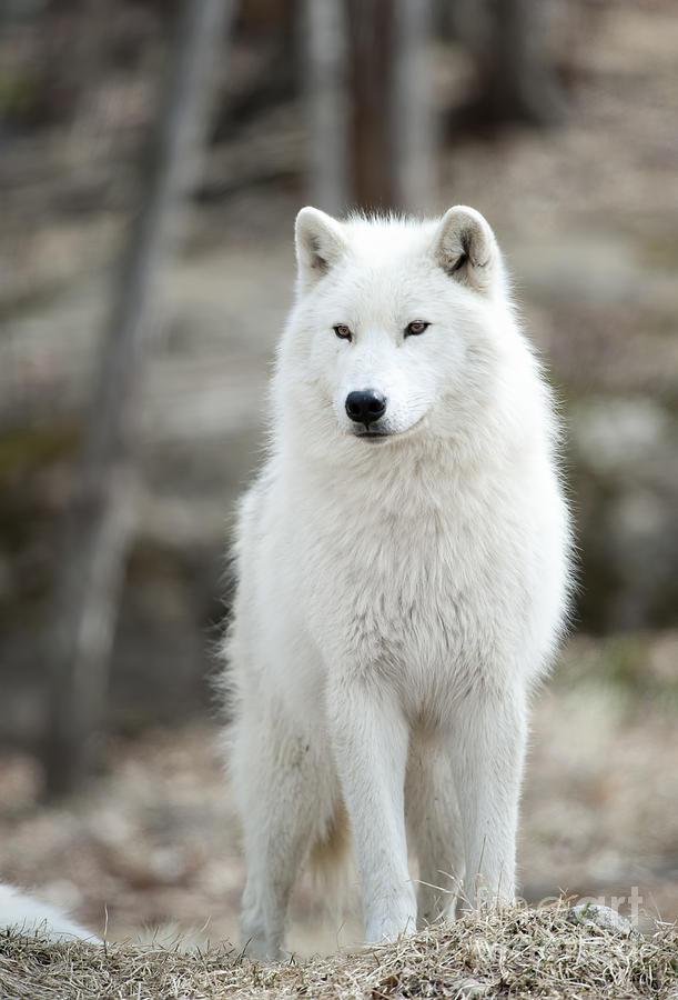 Arti Wolf