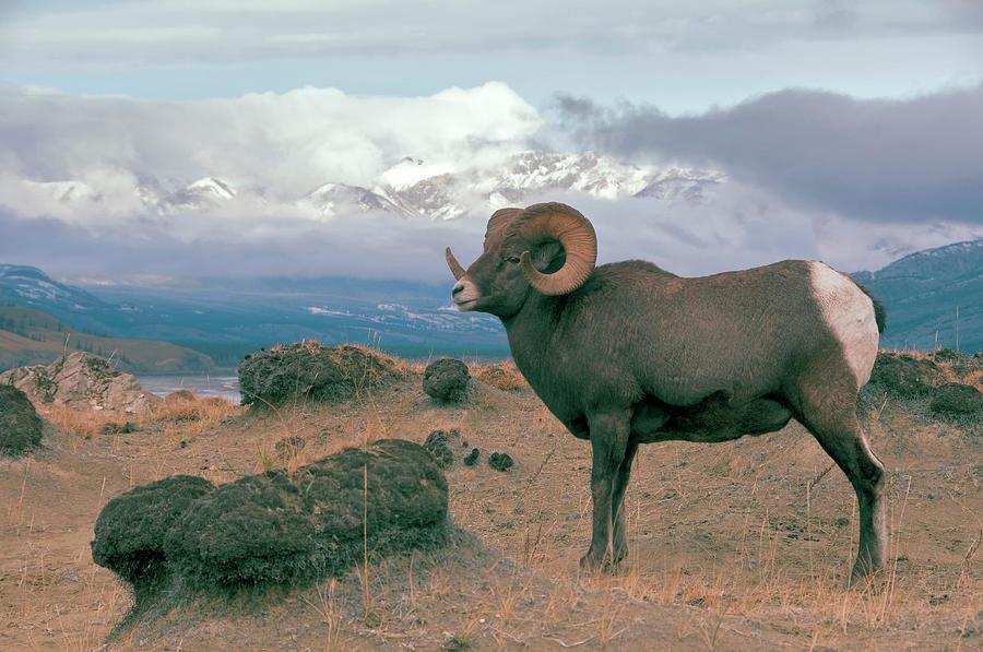 Bighorn Sheep Photograph by Mark Newman
