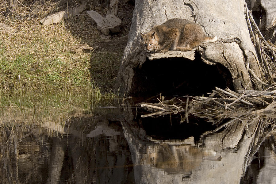 Cat Photograph - Bobcat  Felis Rufus by Carol Gregory