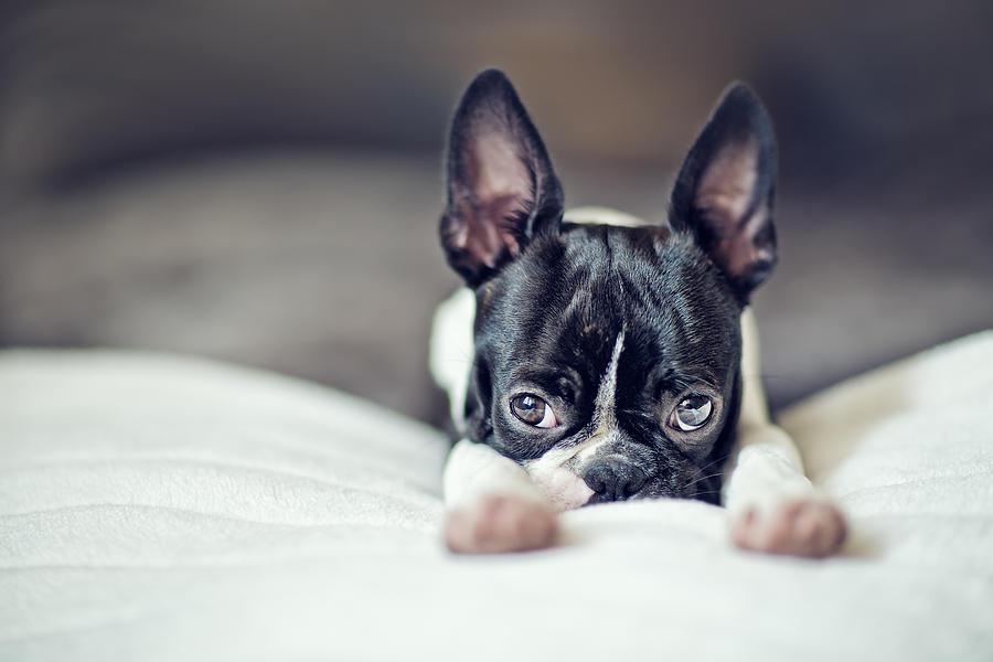 Boston Terrier Puppy Photograph