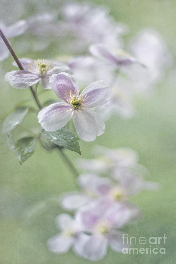 Clematis Photograph - Breathing light by Maria Ismanah Schulze-Vorberg
