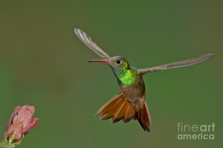 Hummingbird Photograph - Buff-bellied Hummingbird by Anthony Mercieca