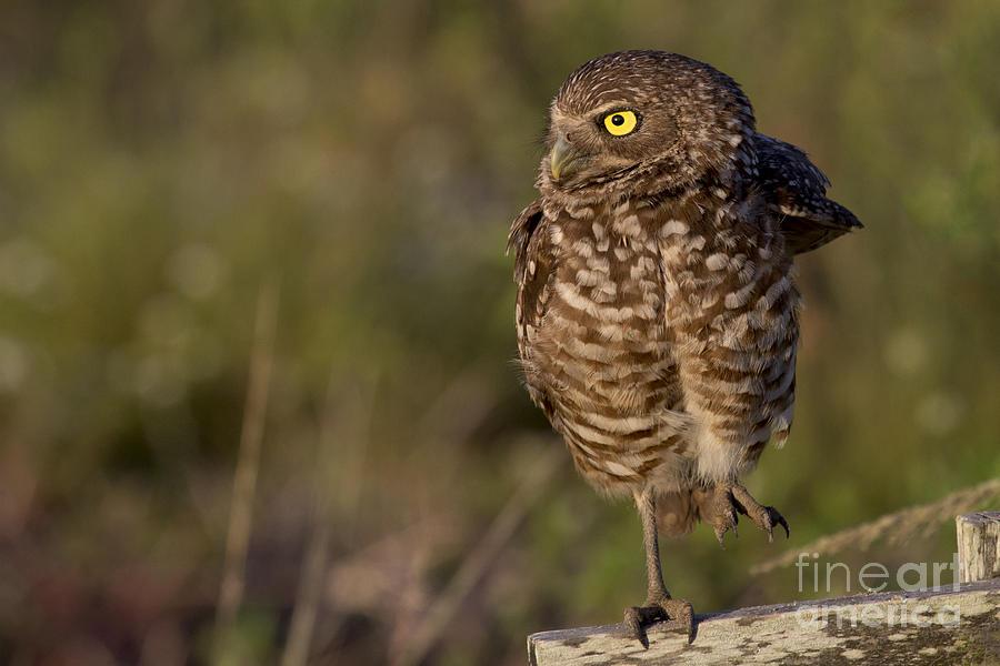 Burrowing Owl Photo by Meg Rousher