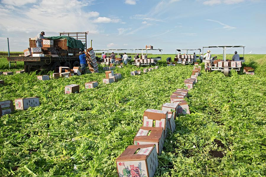 Small Group Of People Photograph - Celery Harvest by Jim West