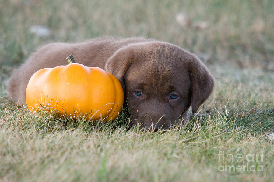 Chocolate Labrador Photograph - Chocolate Labrador Puppy by Linda Freshwaters Arndt