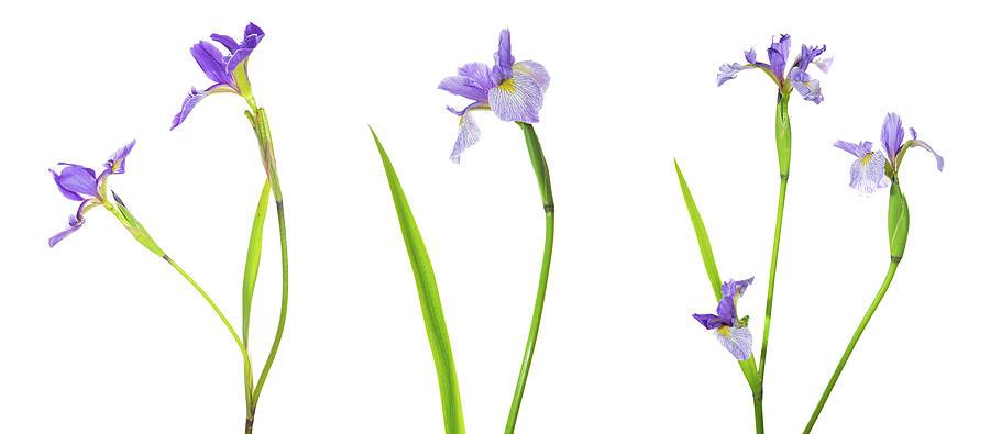 Horizontal Photograph - Close-up Of Blue Flag Iris Iris by Panoramic Images