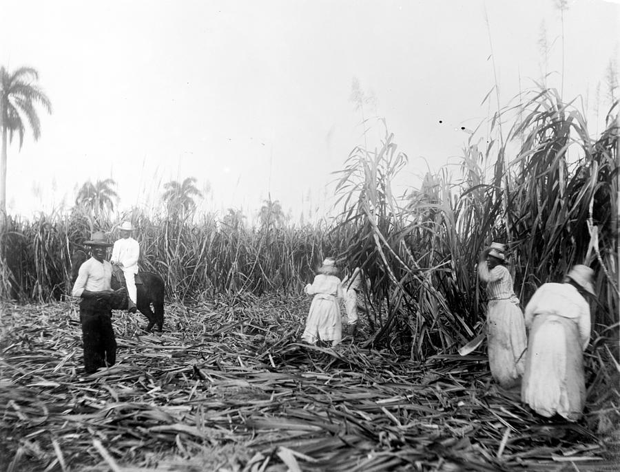 Cuba Sugar Plantation Photograph By Granger