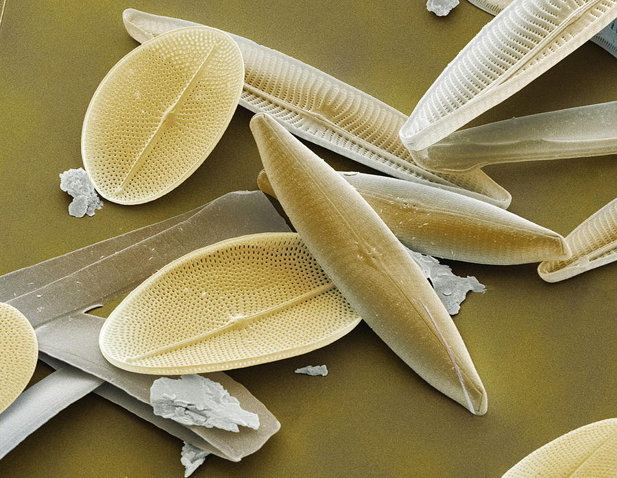 Alga Photograph - Diatoms, Sem by Power And Syred