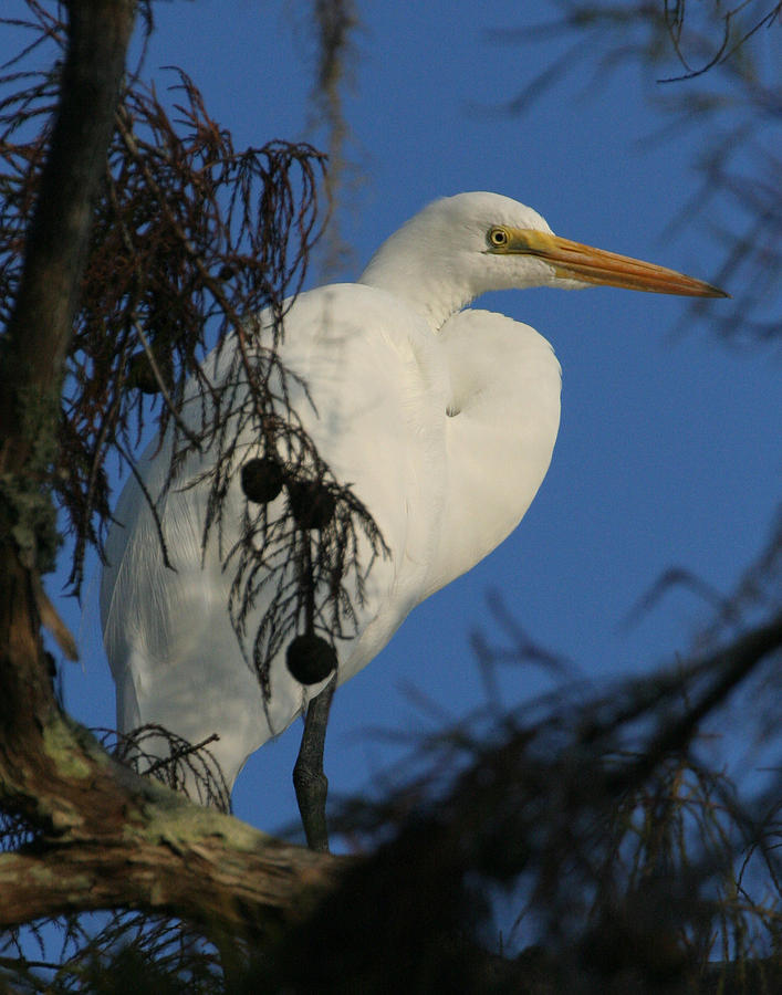 Egret Photograph - Egret by Jeff Wright